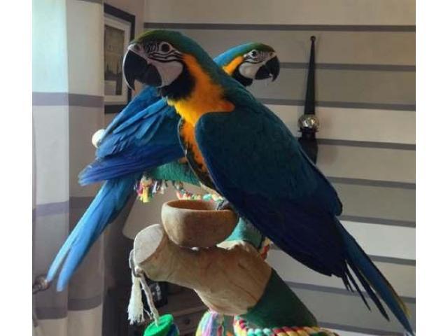 Buon divertimento con i miei pappagalli ara macao