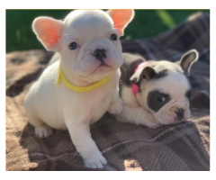 Cuccioli di bulldog francesi