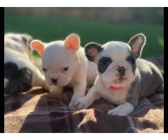 11Cuccioli di bulldog francesi