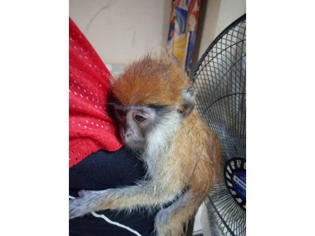 Scimmie cappuccine per adozione