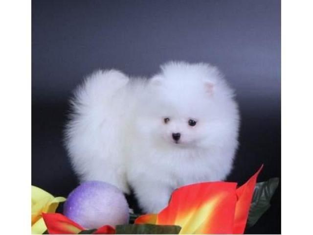 Cuccioli di Pomerania colore bianco