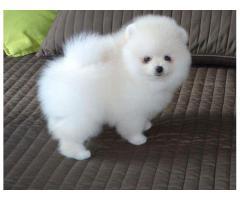 Cuccioli di Pomerania toy