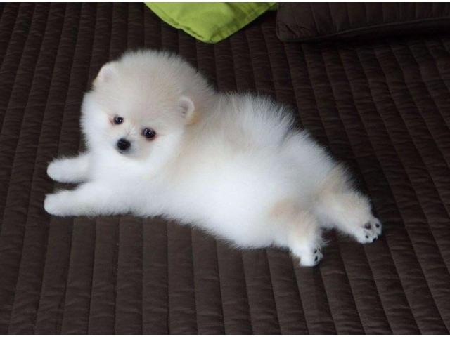 Bellissimo mini giocattolo Cuccioli di Pomerania,  bianco