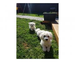 Cuccioli maltesi maschi e femmine sani