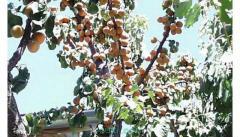 Orto con ulivi e frutti
