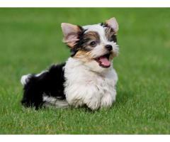 cuccioli di yorkie che necessitano di una nuova casa