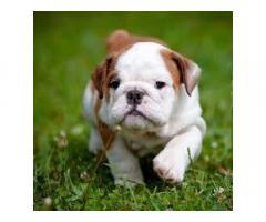 cuccioli di bulldog che necessitano di una nuova casa
