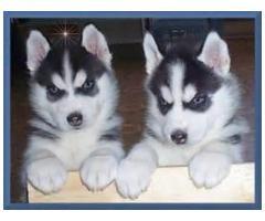....Cuccioli di husky siberiano disponibili......