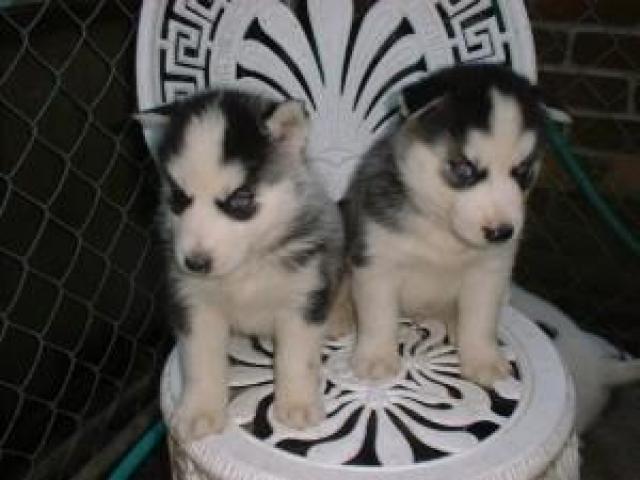 Simpatici cuccioli di husky siberiano m