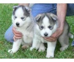 .....Cuccioli di siberian husky addestrati a casa disponibili,,...