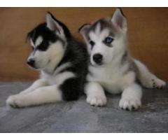 cuccioli di siberian husky giocosi