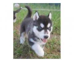 Cuccioli Siberian Husky disponibili