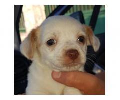 Chihuahua pincher