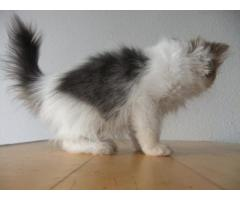 Gattini persiani. Giovane in bianco e nero. razza, addomesticati.
