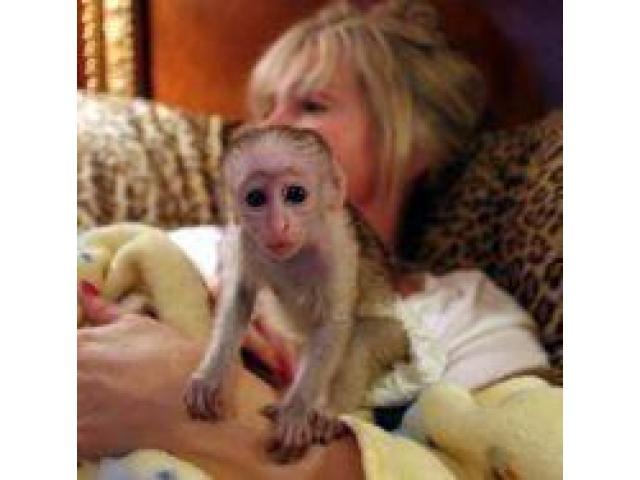 Meravigliosa scimmia cappuccina per l'adozione di Natale