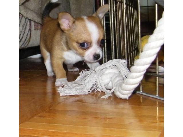 Regalo Cucciolo di Chihuahua