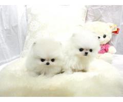 Due fantastici cuccioli di Pomerania