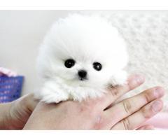 Cucciolo Pomeranian bianco inestimabile per adozione