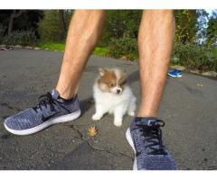 Disponibili bellissimi cuccioli di Pomerania
