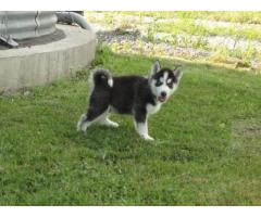 Siberian Husky per adozione