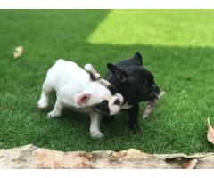 Bulldog francese AKC super adorabile