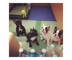 Disponibili cuccioli di bulldog francese di prima classe