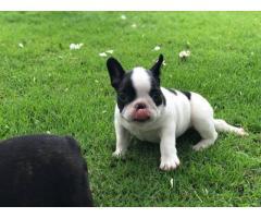 Disponibili splendidi cuccioli di Bulldog francese