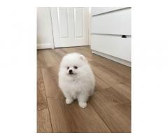 Cuccioli di Pom adorabili disponibili