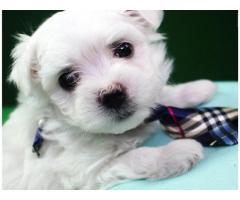 amare i cuccioli maltesi