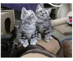 Cuccioli British Shorthair Altissima Genealogia