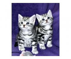 Cuccioli British Shorthair Altissima Genealogia !!