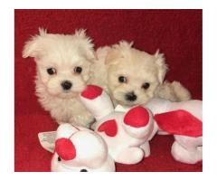 Cucciolo di Pooh maltese