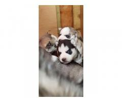 Due cuccioli di husky siberiano