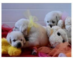 Splendidi cuccioli Labrador gialli e neri