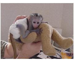 scimmia femmina di due settimane per adozione