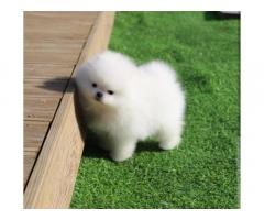 Bellissimo cucciolo Pomeranian di lusso