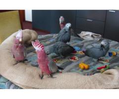 Maschio e femmina africano pappagallo grigio in vendita