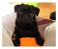 Cuccioli Pug Puppies in vendita