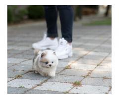 cuccioli di Pomerania maschi e femmine