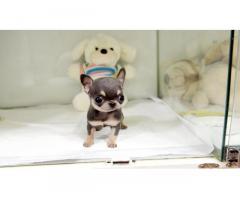 Adorabili cuccioli di chihuahua maschio e femmina