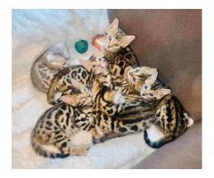 adorabili cuccioli di Bengala pronti per andare in nuove case.