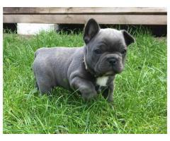 disponibili da subito cuccioli di razza bulldog francese