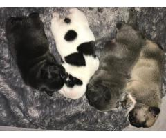 Cuccioli di Bulldog francese di qualità AKC in vendita gratuita