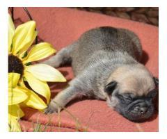 Cuccioli di Pug in vendita,