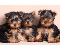 Cuccioli di Yorkshire Terrier Mini Toy in vendita,