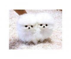 Vendita cuccioli Lulu Pomeranian Mini Toy,