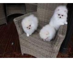 Fantastici cuccioli di pastore tedesco in vendita,