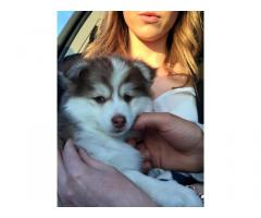 blue eyed cute pomsky