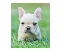 adorabile bulldog francese per la vendita