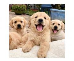Cuccioli di razza Golden Retriever